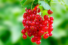 Red currant on a twig Stock Images