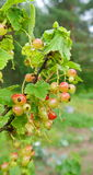 Red currant unripe Stock Photo