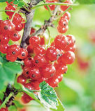 Red currant. Vintage retro hipster style version Royalty Free Stock Photo