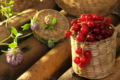 Red currant in wattled busket against background branches. With clover royalty free stock image