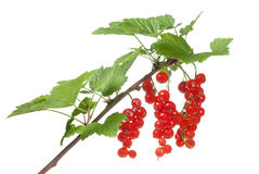 Red currant on white. A bunch of red currant isolated on white stock image