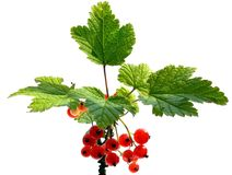 Red currant on white Royalty Free Stock Photo
