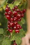 The red currants. With green leaves Royalty Free Stock Images
