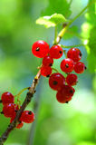 Red currants. Fresh red currants in the summer sun. (Vaccinium myrtillus). Shallow DOF Stock Photos