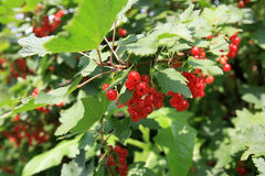 Red currants. Bush, healthy food, Ribes Royalty Free Stock Image