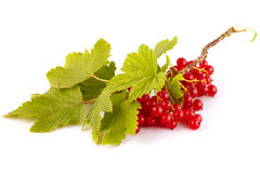 Red currants Stock Photography