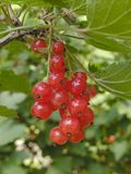 Red Currants. Close up stock photos