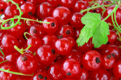 Red currants. Fresh red  ripe currants close up Stock Photos