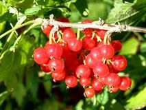 Red currants. Detail photo of the red currants background Stock Images