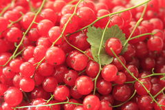 Red currants. A lot of freshly picked red currants Royalty Free Stock Image