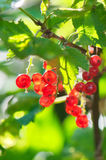 Red currants. In the garden stock photo