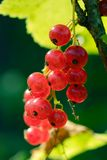 Red Currants. On the bush Royalty Free Stock Images
