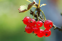 Red currants. In the sun Stock Image