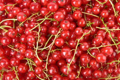 Red currants. Wet fresh Redcurrants as background Stock Photography