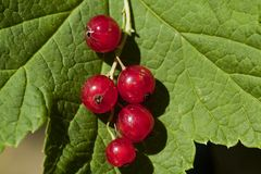 Red currants. Against its own leaf Royalty Free Stock Images