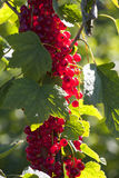 Red currants in backlight Royalty Free Stock Photography