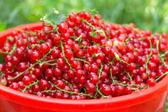 Red Currants basket closeup Royalty Free Stock Photo