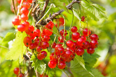 Red currants on branch. Branch with red currants and green leaves Stock Photo