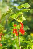 Red currants branch Stock Photography