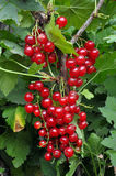 Red currants on a branch Royalty Free Stock Photo
