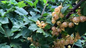 Red currants on a branch on a sunny day. Red currants on a branch on a sunny day stock video