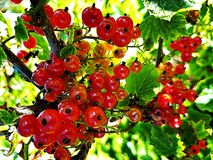 Red currants. Red currants and branches on the tree Royalty Free Stock Photos