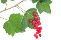 Red currants on the bush Royalty Free Stock Photos