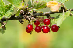 Red currants in bush Stock Photography