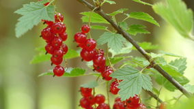Red currants on a bush in the wind stock video footage