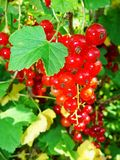Summer bush with mature berries of a red currant. Fresh redcurrant fruit in the garden. stock photography
