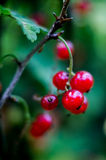 Red currants. Stock Photo
