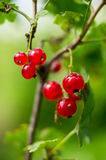Red currants. Stock Photography