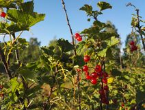 Red currants from Finland royalty free stock photo