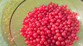 Red currants. Freshly picked red currants Royalty Free Stock Images