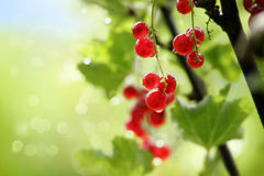 Red currants in a garden Stock Images