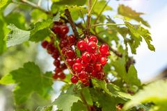 Red currants in the garden, close-up.  stock images