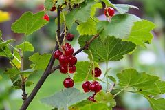 Red currants in the garden. Red currant on the branches in the garden Royalty Free Stock Image