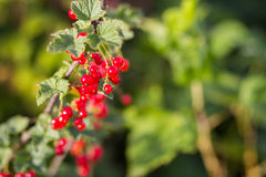 Red currants in the garden Royalty Free Stock Images