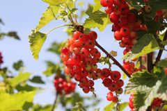 Red currants in the garden stock images