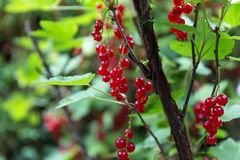 Red currants in the garden. Some Red currants in the garden Royalty Free Stock Photos