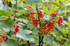 Red currants in the garden. Some Red currants in the garden Stock Photography