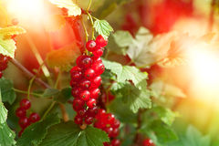 Red currants in the garden Stock Photography