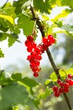 Red currants grow on the bush. Organic and natural berries.  stock images