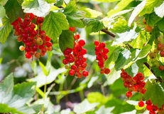 Red currants growing in a country garden Stock Photos