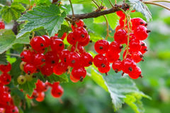 Red Currants Growing In The Garden Royalty Free Stock Photo