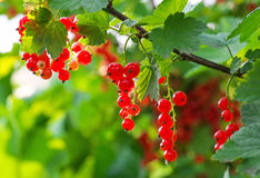 Red Currants Growing In The Garden Stock Photos
