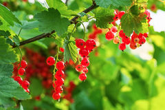 Red Currants Growing In The Garden Stock Images
