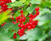 Red Currants Growing In The Garden Royalty Free Stock Image