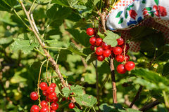 Red currants harvest - Closeup Royalty Free Stock Image