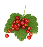 Red Currants isolated Royalty Free Stock Photography